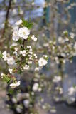 Tree flowers in the spring Royalty Free Stock Image