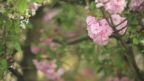 Tree flowers in spring. Spring cherry blossoms - flowers in tree stock video footage