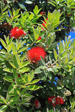 Pohutukawa Tree Flowers Royalty Free Stock Image