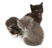 Tree fluffy kittens Royalty Free Stock Images