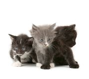 Tree fluffy kittens Royalty Free Stock Photography
