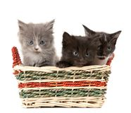 Tree fluffy kittens Royalty Free Stock Image