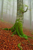 Tree in the fog Royalty Free Stock Image