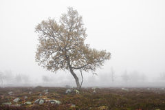 Tree in fog. Lone Tree in autumnal fog Royalty Free Stock Photography