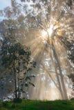Tree and fog. Eucalyptus tree, fog and sun rays Royalty Free Stock Image