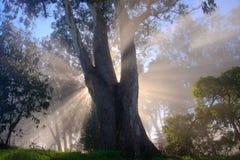 Tree and fog. Eucalyptus tree, fog and sun rays Stock Photography