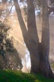Tree and fog. Eucalyptus tree, fog and sun rays Royalty Free Stock Images