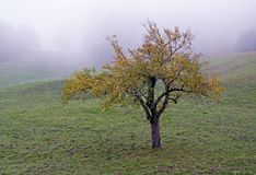 Tree in a fog. Broadleaved tree in a white autumn fog Royalty Free Stock Images