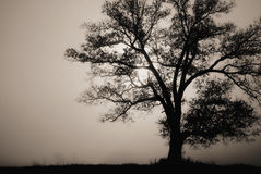 Tree in fog. A sole tree in the fog silhouetted by the morning sun stock photos