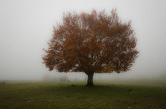 The tree. A tree in the fog. Autumn colors make you stand out in the landscape Stock Photography