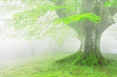 Tree with fog and beautiful light on spring Stock Image