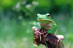 Tree fog, frogs, white lipped frog, litoria infrafrenata. White lipped tree frog sitting on wood Stock Photography