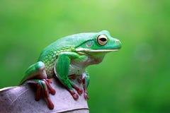 Tree fog, frogs, white lipped frog, litoria infrafrenata. Tree frog, white lipped on leaf royalty free stock images