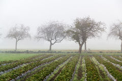 Tree in the fog. A thick mist was in the valley engulfing everything Stock Image