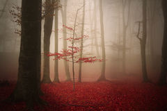 Tree in a foggy autumn forest Stock Photos