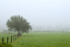 Tree on foggy field. Lonely tree on field in the fog Royalty Free Stock Images