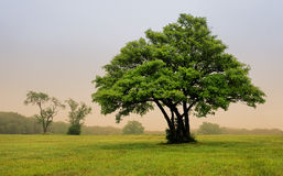 Tree in foggy meadow Royalty Free Stock Photography