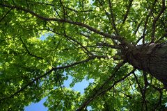 Tree foliage. Looking up into tree foliage stock image