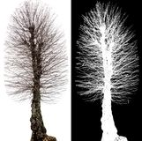 Tree without foliage alpha channel Royalty Free Stock Image