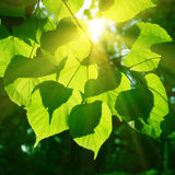 Tree foliage and sun. Royalty Free Stock Photos
