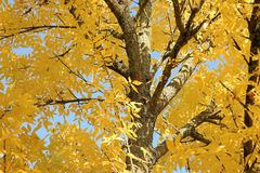 Autumn background with beautiful yellow leaves and blue sky. Tree foliage with sunlight and texts space royalty free stock photography