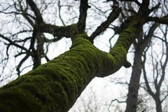 Tree in the forest acquired a moss royalty free stock image
