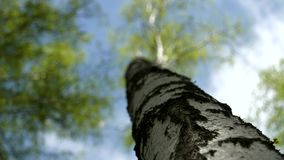 Tree in the forest against a blue sky. And white clouds stock footage