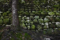 A tree in the forest against an old rural stone wall with green moss. And long roots royalty free stock photo
