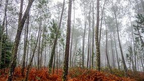 Tree forest blurred on a foggy day at Geres National Park, Portugal stock image