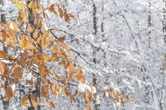 Tree forest branch with brown leaves covered with snow and forest. Background Stock Images