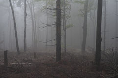 Tree in a forest in fog Royalty Free Stock Photo