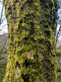 Tree in the forest with musk and lichen stock images