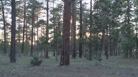Tree forest sunset glare timelapse. Video of tree forest sunset glare timelapse stock footage