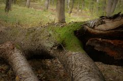 Tree forest. A tree on a forest knocked down by the wind, natural wood. forest Royalty Free Stock Photography