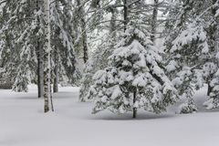 Tree in the forest under the snow royalty free stock images