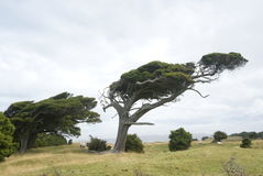 Tree formed by strong winds Royalty Free Stock Images
