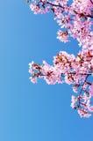 tree för blomningCherrypink Royaltyfria Bilder