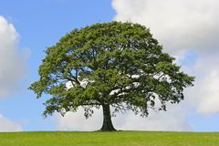 tree för oakstrykesymbol Arkivbilder