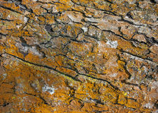 Tree fragment. Large fragment of bark of deciduous tree Stock Photography