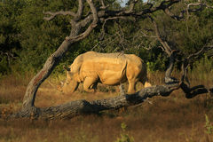 Tree Framed Rhino Bull Stock Image