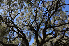Tree framework. A weeping wattle tree in central, NSW Australia showing the sky and it`s graceful structure Stock Photos