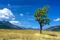 Tree in the French Alpes. Tree in a field with the mountains in the background royalty free stock images