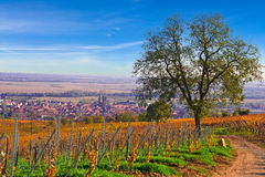 Tree in french vineyard. French vineyard at autumn season royalty free stock images