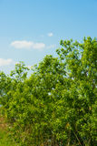 Tree of fresh green and blue sky Stock Photo