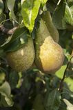 Tree with fresh green pears Royalty Free Stock Photos