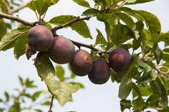 Tree with fresh plums Stock Photo