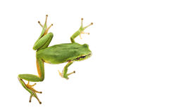 Tree frog stock photography