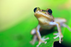 Tree frog Royalty Free Stock Images