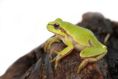 Tree frog. Green tree frog  on white background Royalty Free Stock Photography