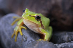 Tree frog. Green tree frog  on stone Royalty Free Stock Photography